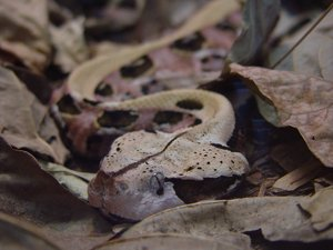 Gaboon Viper clipart #15, Download drawings