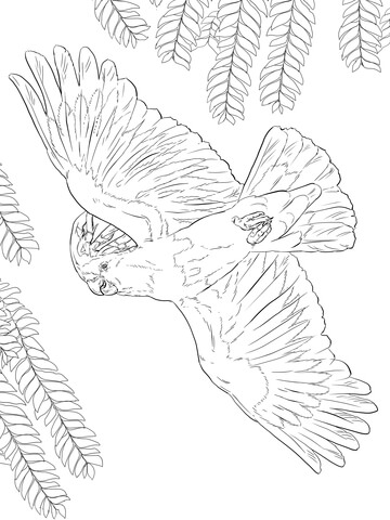 Galah coloring Download Galah coloring