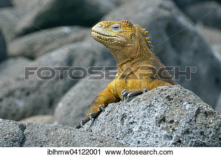 Galapagos Land Iguana clipart #14, Download drawings