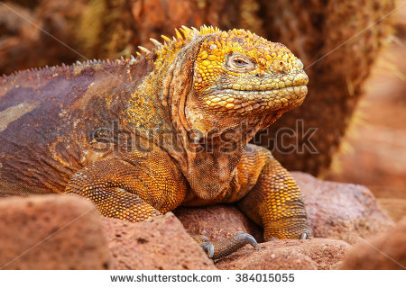 Galapagos Land Iguana clipart #8, Download drawings
