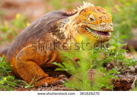 Galapagos Land Iguana clipart #9, Download drawings