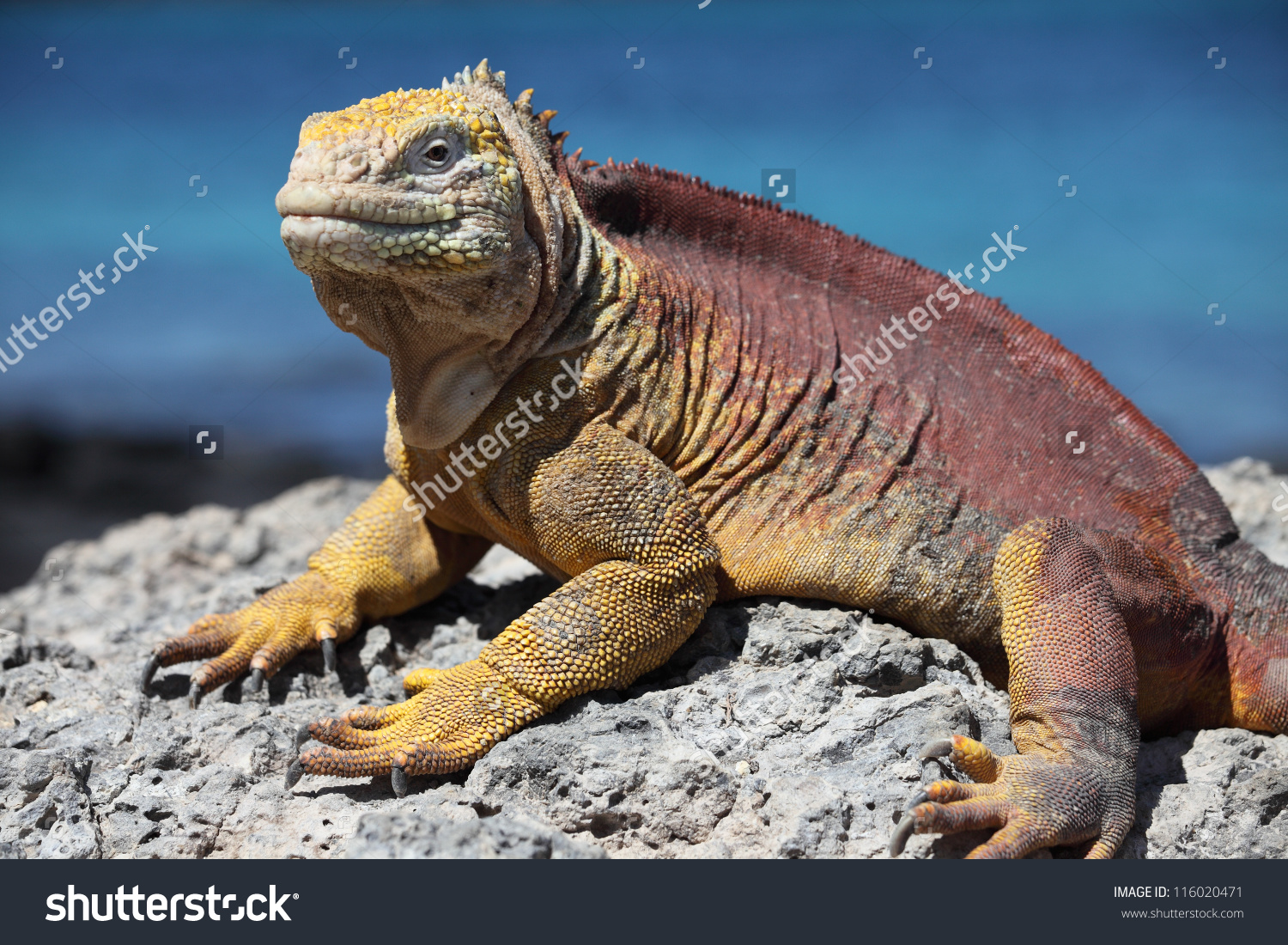 Galapagos Land Iguana clipart #2, Download drawings