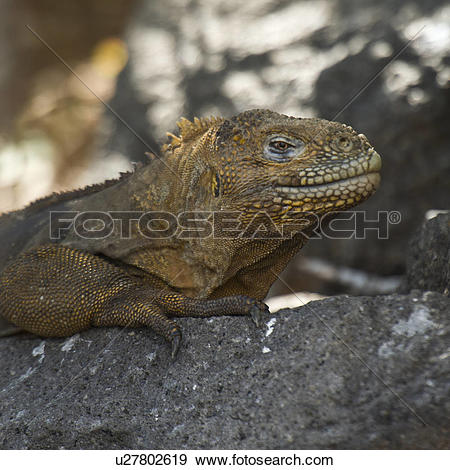 Galapagos Land Iguana clipart #6, Download drawings