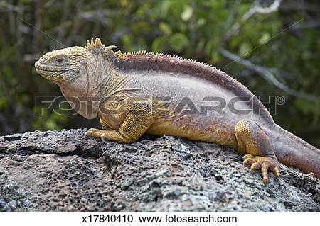 Galapagos Land Iguana clipart #17, Download drawings