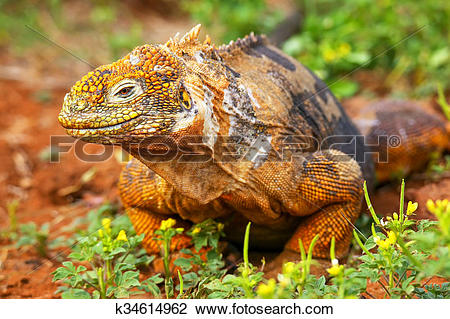 Galapagos Land Iguana clipart #15, Download drawings