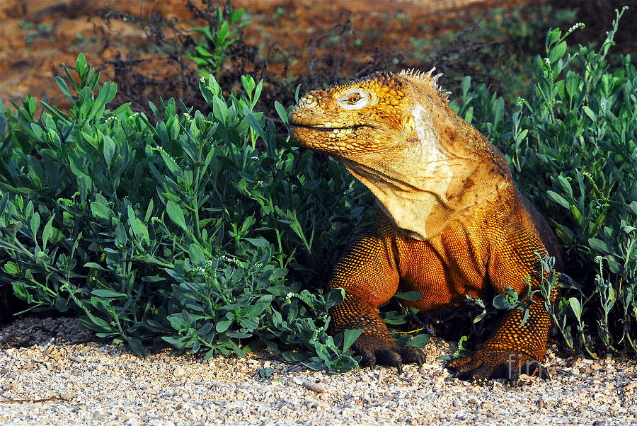 Galapagos Land Iguana clipart #5, Download drawings
