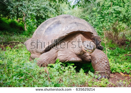 Gal#U00e1pagos Tortoise clipart #11, Download drawings