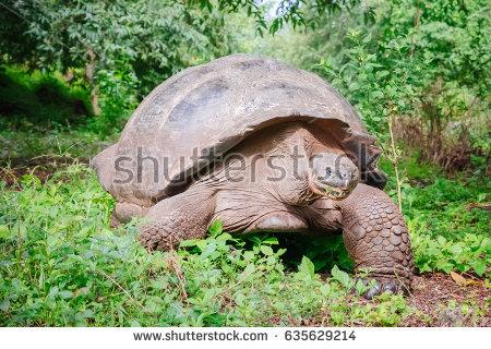 Gal#U00e1pagos Tortoise coloring #12, Download drawings