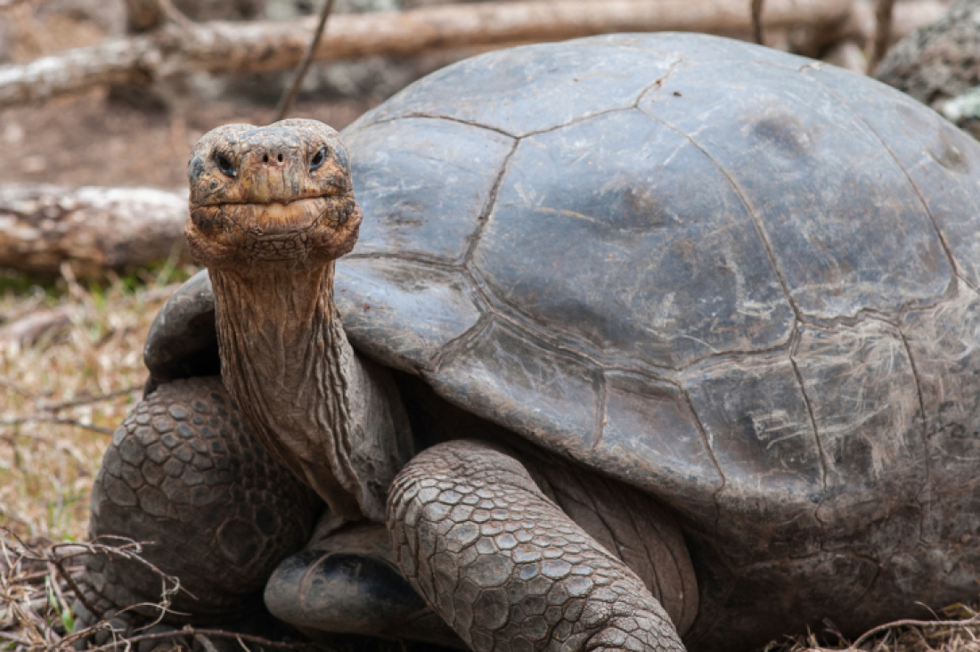 Gal#U00e1pagos Tortoise clipart #3, Download drawings