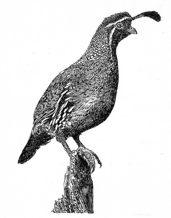 Gambel's Quail clipart #7, Download drawings