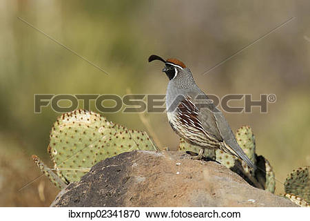 Gambel's Quail clipart #13, Download drawings