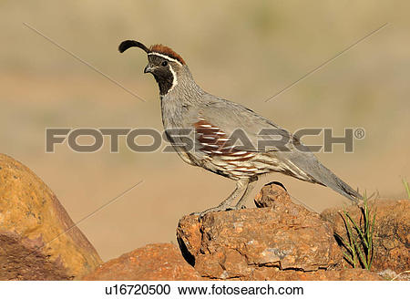 Gambel's Quail clipart #11, Download drawings