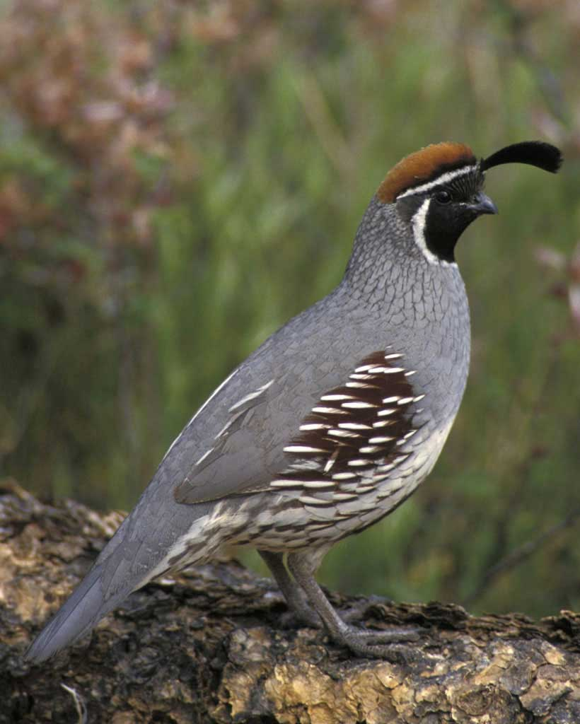 Gambel's Quail clipart #2, Download drawings