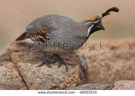 Gambel's Quail clipart #5, Download drawings
