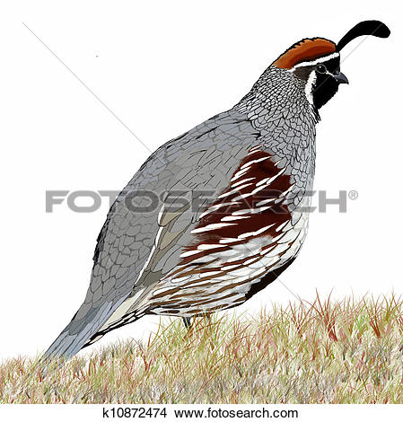 Gambel's Quail clipart #15, Download drawings