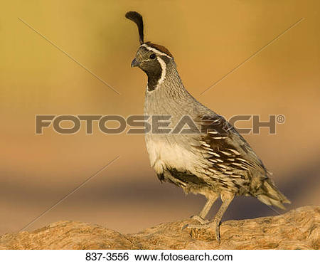 Gambel's Quail clipart #17, Download drawings