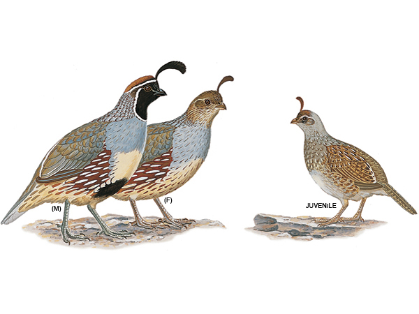 Gambel's Quail clipart #12, Download drawings