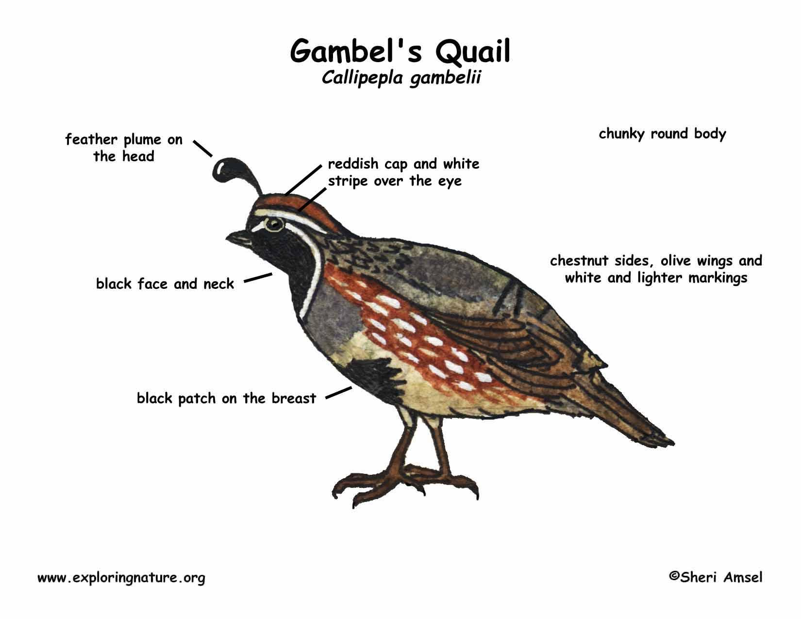 Gambel's Quail coloring #11, Download drawings