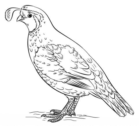 Gambel's Quail coloring #13, Download drawings