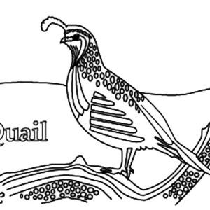 Gambel's Quail coloring #19, Download drawings