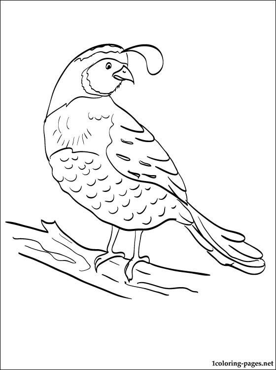 Gambel's Quail coloring #16, Download drawings