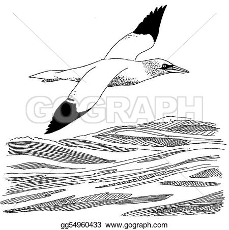 Gannet clipart #10, Download drawings