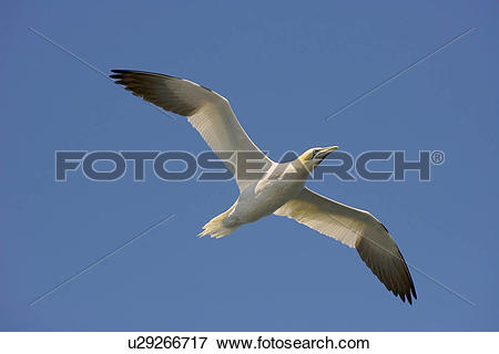 Northern Gannet clipart #3, Download drawings