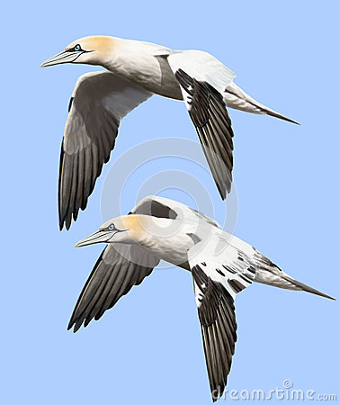 Gannet clipart #7, Download drawings