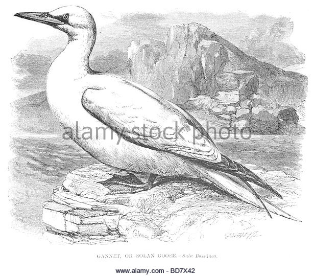 Northern Gannet coloring #15, Download drawings