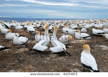 Gannets clipart #1, Download drawings