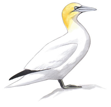Gannets clipart #8, Download drawings