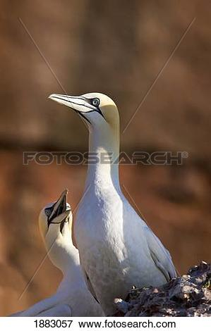 Gannets clipart #5, Download drawings