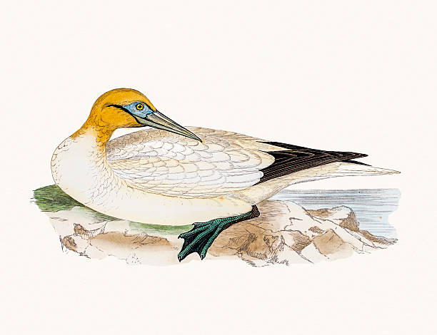 Gannets clipart #2, Download drawings