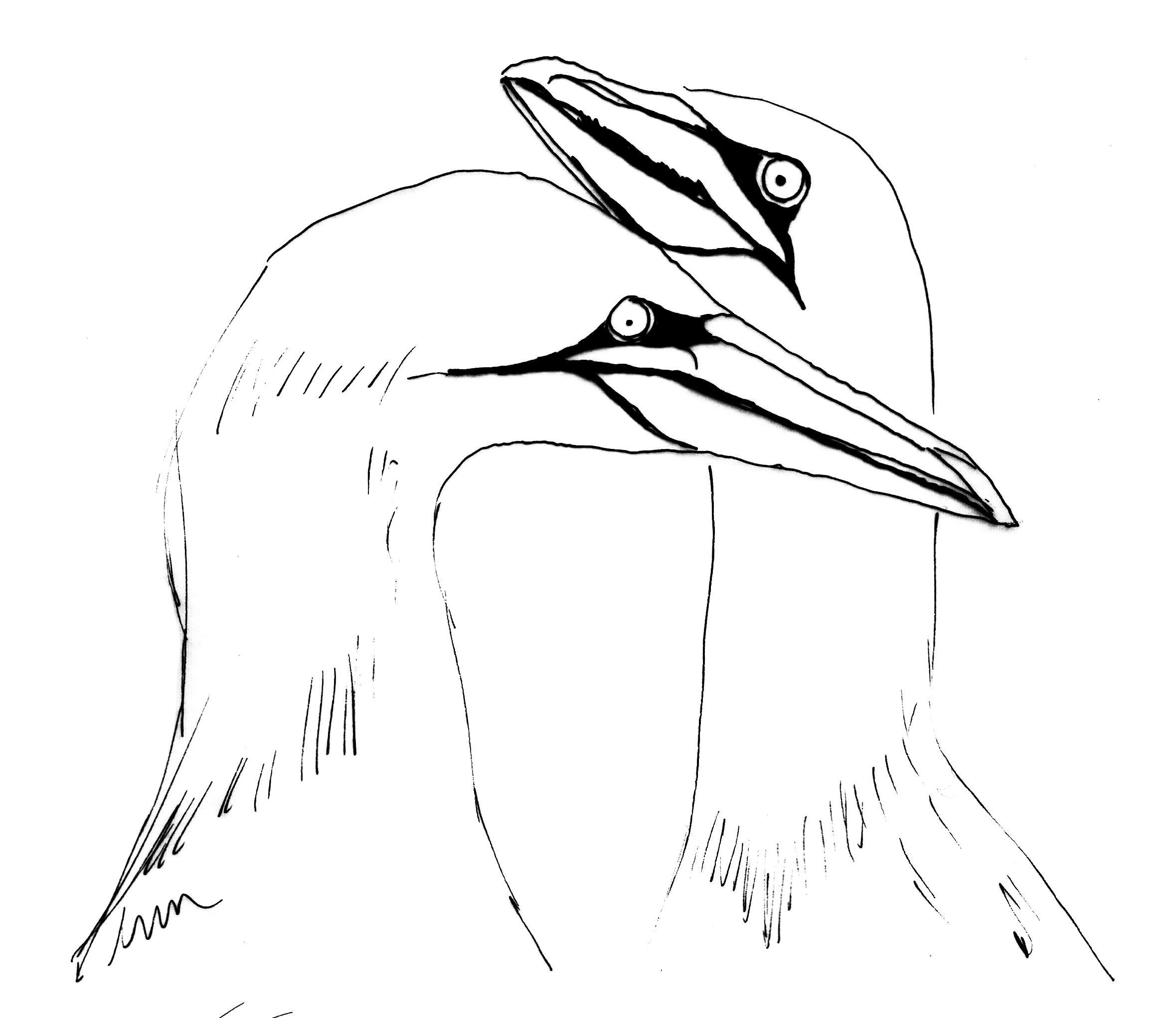 Gannets coloring #4, Download drawings
