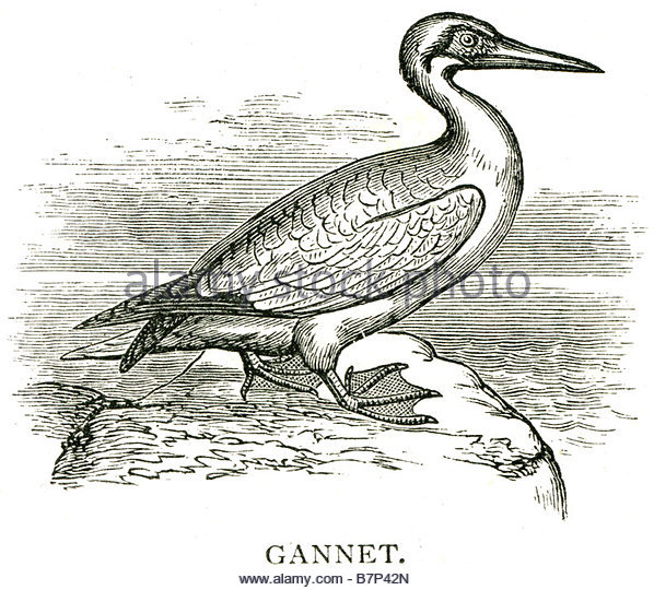 Gannets coloring #16, Download drawings