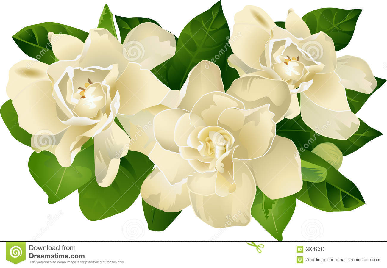 Gardenia clipart #10, Download drawings