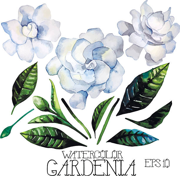 Gardenia clipart #6, Download drawings