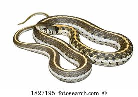 Grass Snake clipart #1, Download drawings