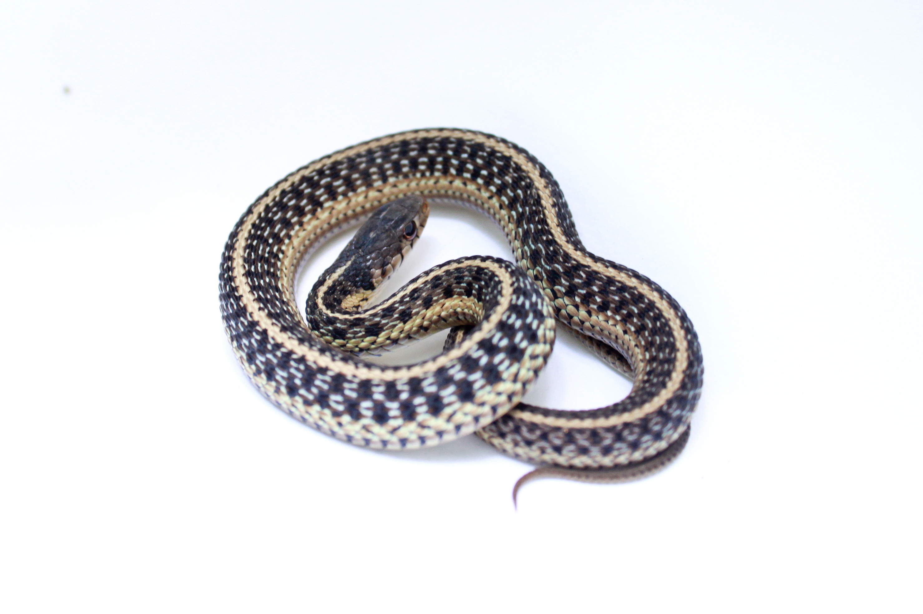 Garter Snake svg #9, Download drawings