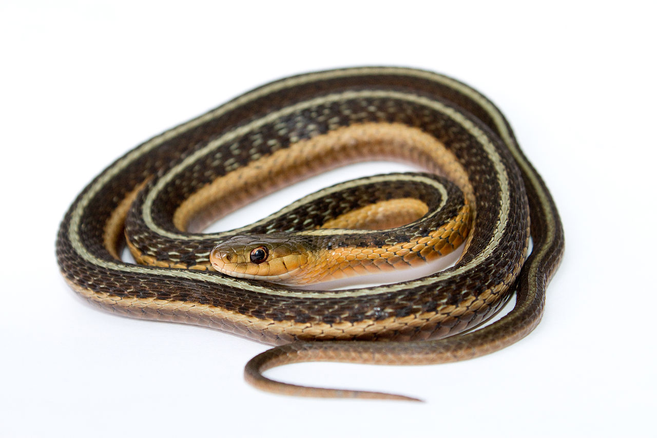 Garter Snake svg #13, Download drawings