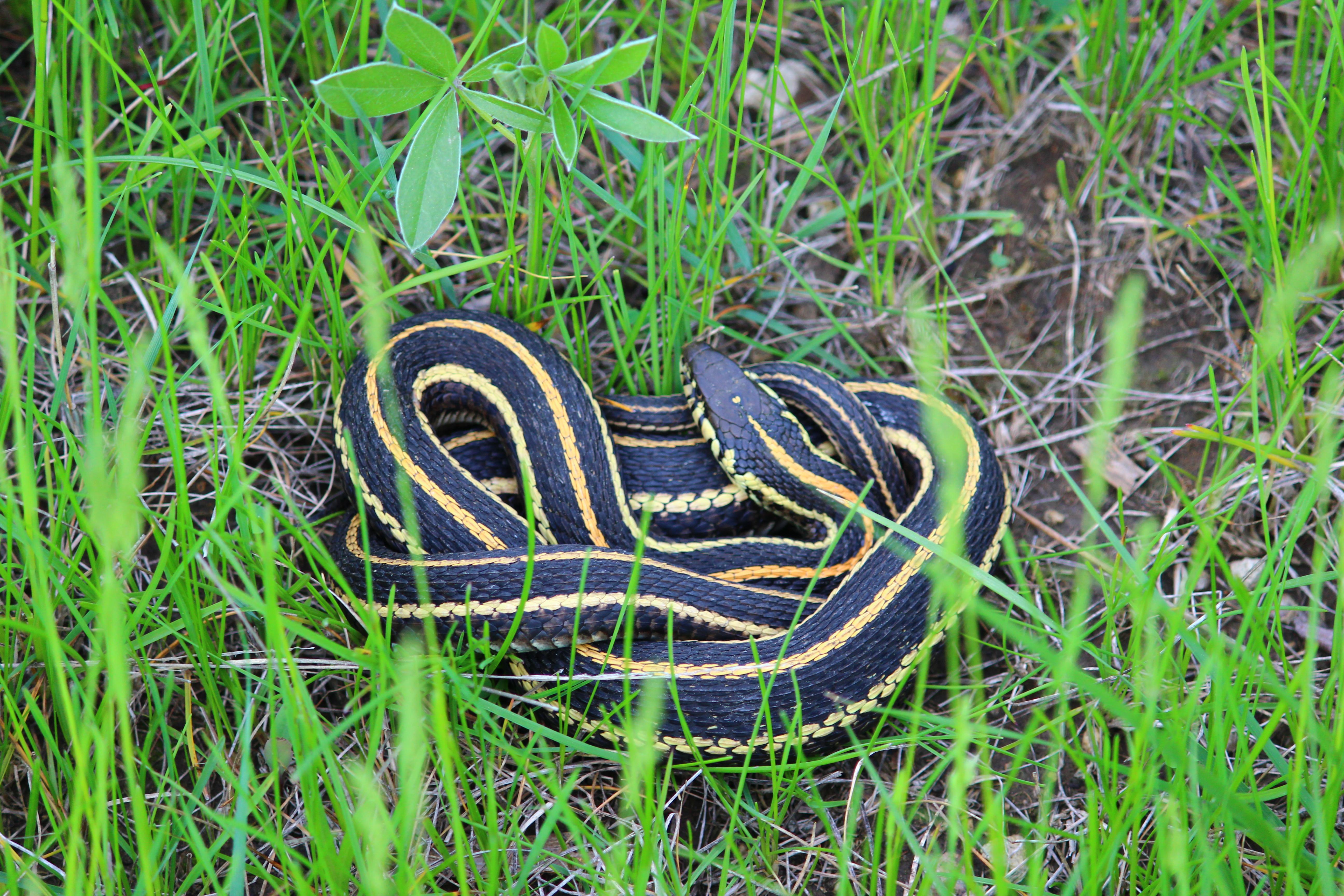 Garter Snake svg #5, Download drawings