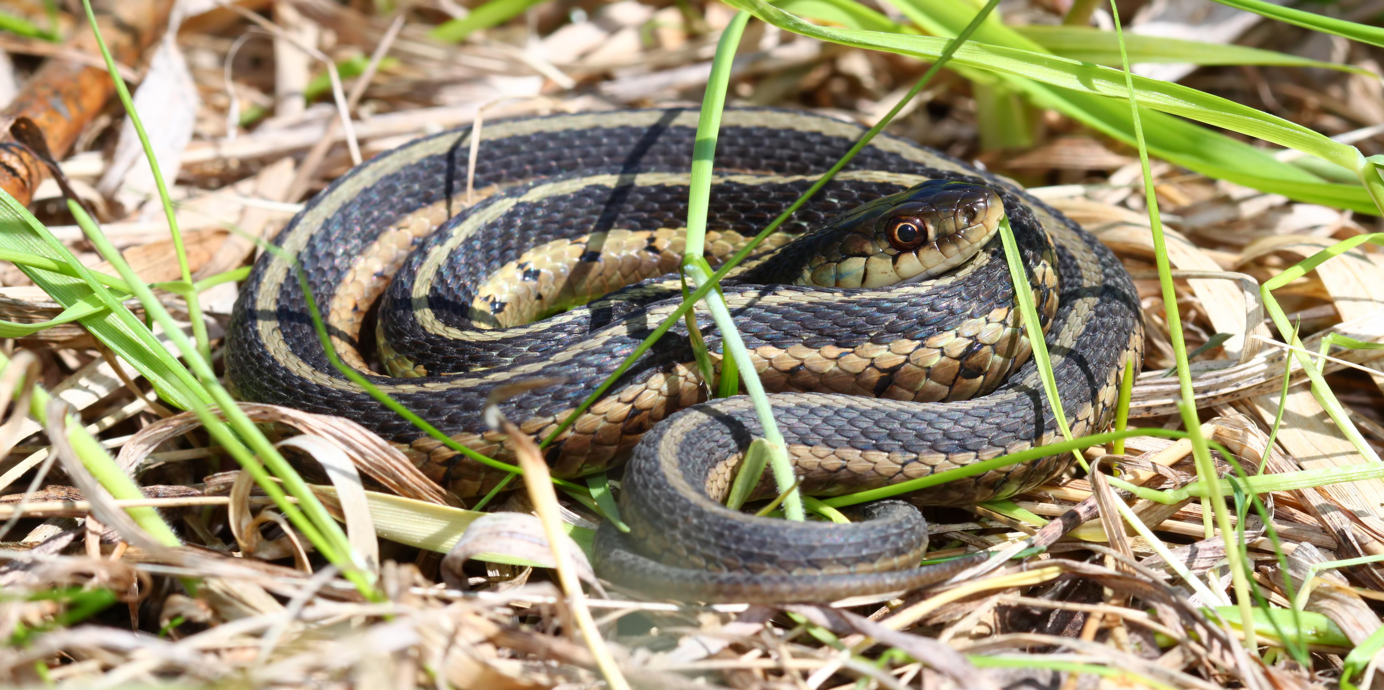 Garter Snake svg #6, Download drawings