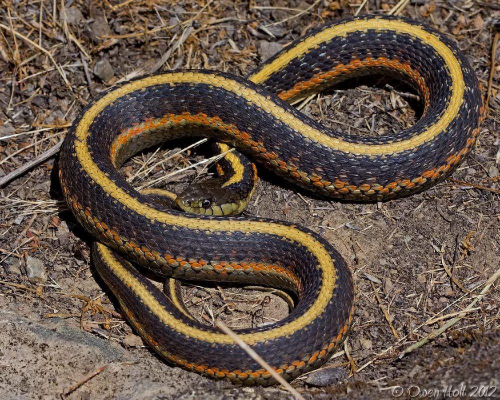Garter Snake svg #8, Download drawings