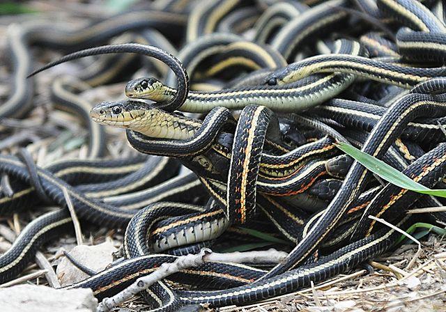 Garter Snake svg #18, Download drawings