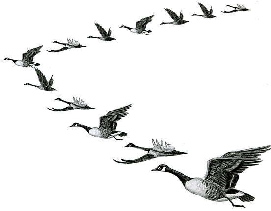 Geese Migration coloring #6, Download drawings