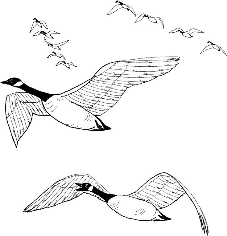 Geese Migration coloring #16, Download drawings