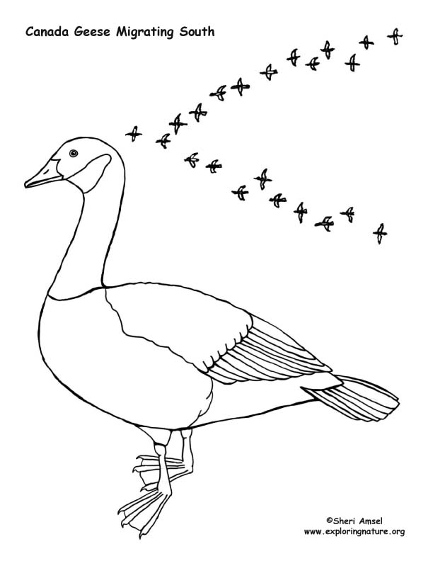 Geese Migration coloring #14, Download drawings