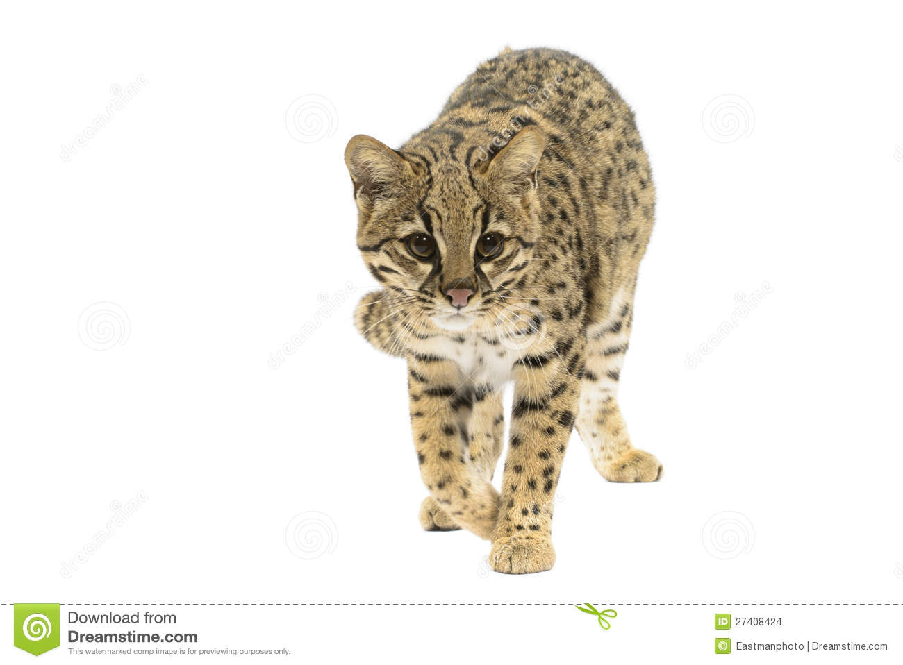 Geoffroy's Cat clipart #9, Download drawings