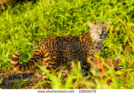 Geoffroy's Cat clipart #12, Download drawings