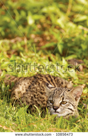 Geoffroy's Cat clipart #14, Download drawings